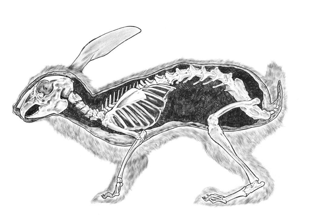 Oryctolagus_Cuniculus